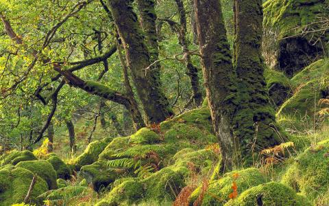 Temperate Oak (Sessile petraea) woodland at Ariundle NNR, West Highland Area.  :copyright:Lorne Gill/SNH