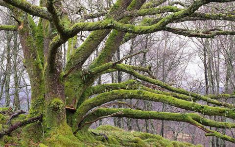 Multi stemmed veteran oak tree (coppiced) at Glen Nant NNR, Argyll...:copyright:Lorne Gill/SNH B28/03632