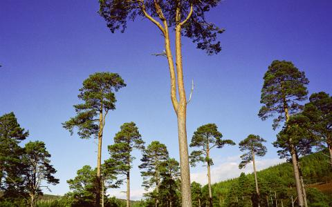 Scot's Pines at Glen Tanar NNR.  :copyright:Lorne Gill/SNH